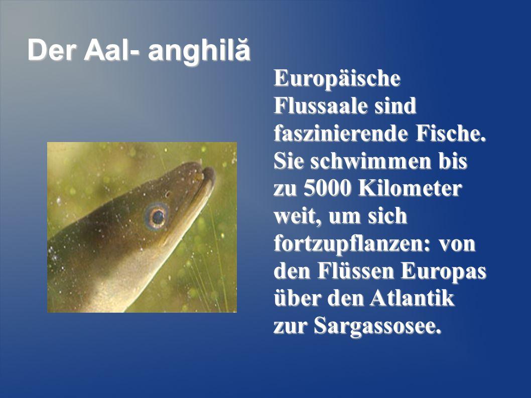 Der Aal- anghilă Europäische Flussaale sind faszinierende Fische. Sie schwimmen bis zu 5000 Kilometer weit, um sich fortzupflanzen: von den Flüssen Eu