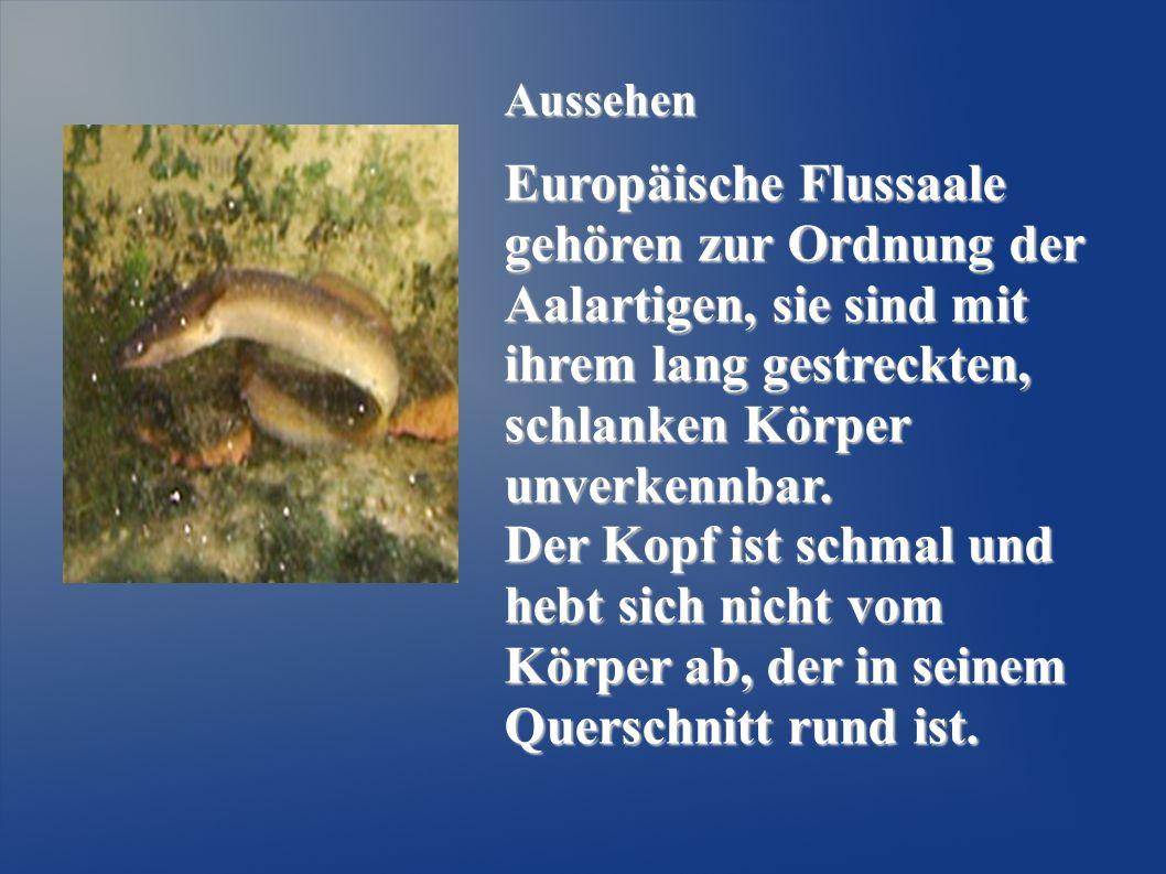 Aussehen Europäische Flussaale gehören zur Ordnung der Aalartigen, sie sind mit ihrem lang gestreckten, schlanken Körper unverkennbar. Der Kopf ist sc