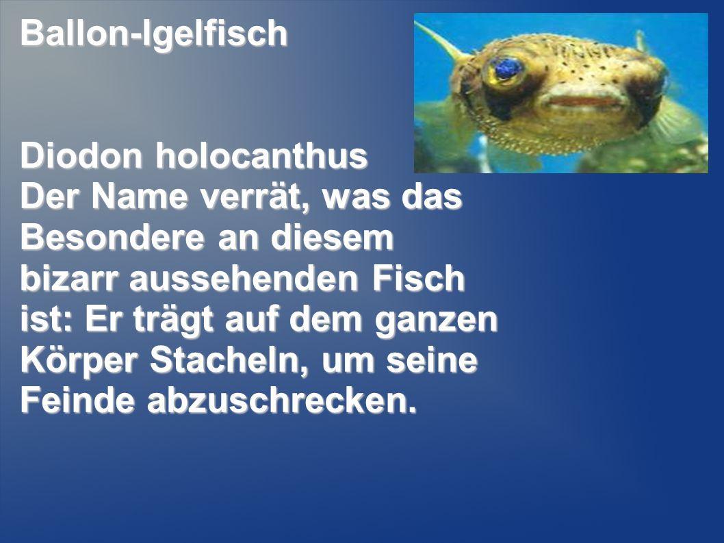 Ballon-Igelfisch Diodon holocanthus Der Name verrät, was das Besondere an diesem bizarr aussehenden Fisch ist: Er trägt auf dem ganzen Körper Stacheln