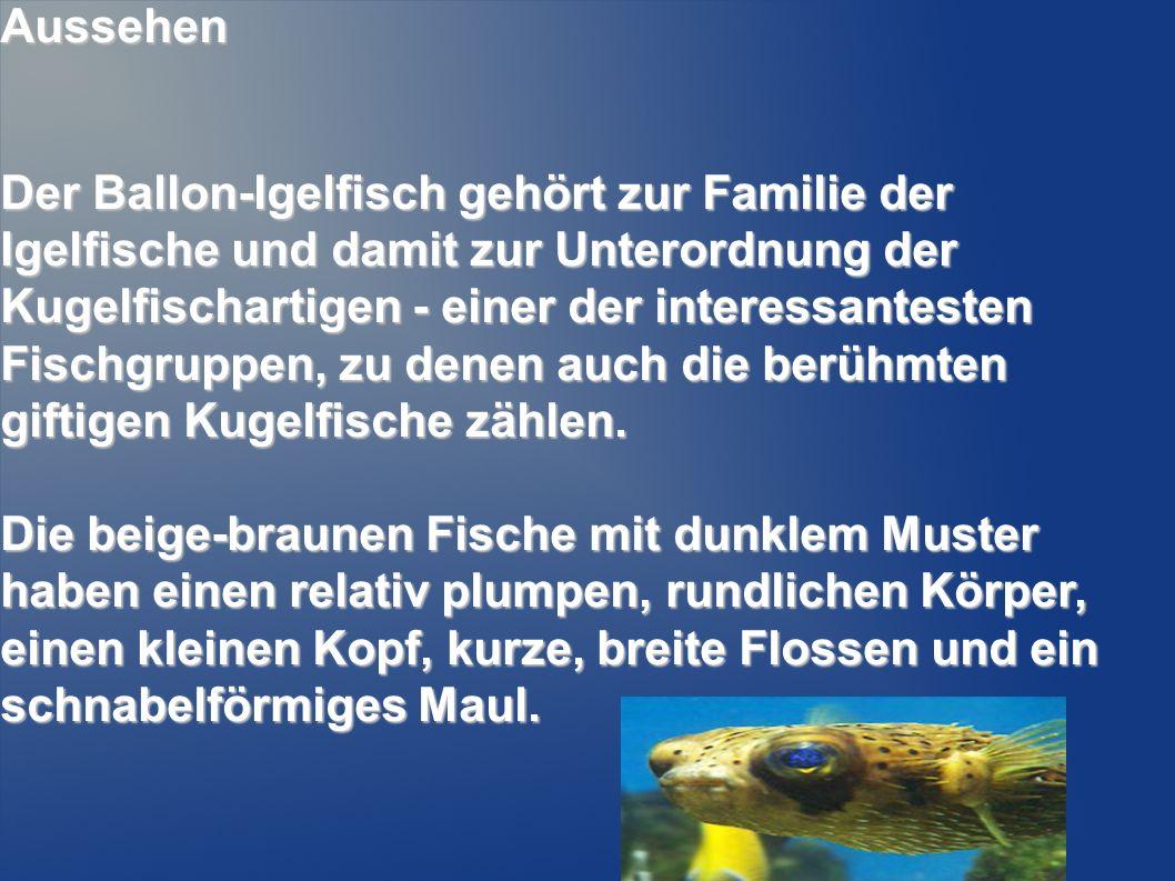 Aussehen Der Ballon-Igelfisch gehört zur Familie der Igelfische und damit zur Unterordnung der Kugelfischartigen - einer der interessantesten Fischgru