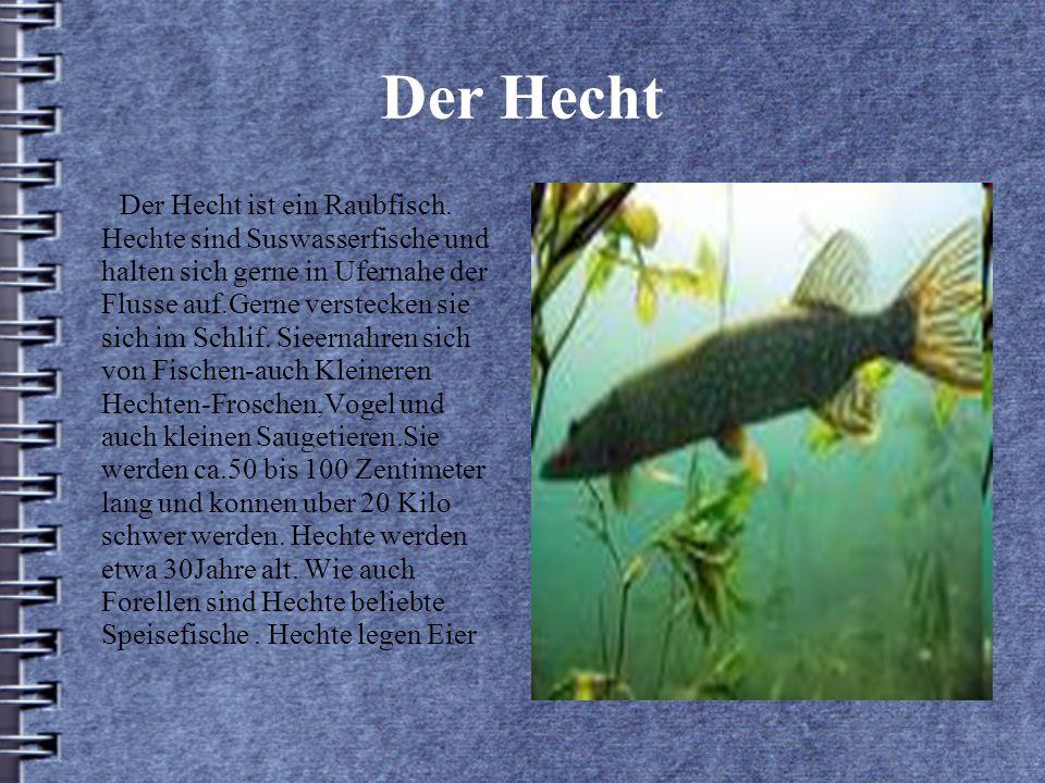 Der Hecht Der Hecht ist ein Raubfisch.