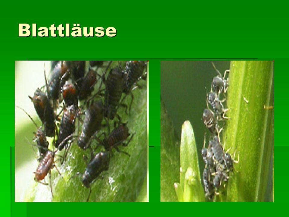 Sie gehören zu den großen Gewinnern der Evolution: Seit etwa 280 Millionen Jahren krabbeln Blattläuse über die Erde und es gibt weltweit etwa 1500 verschiedene Arten.
