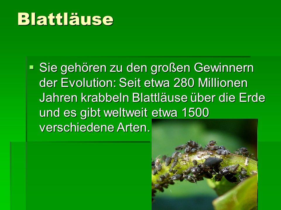 Blattläuse sind kleine, tropfenförmige Insekten.Wie alle Insekten haben sie sechs Beine.
