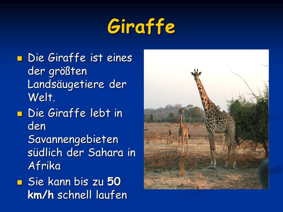 Aussehen und Körperbau Der Giraffe Die Giraffe fällt besonders durch ihre langen Beine und den sehr langen Hals auf.