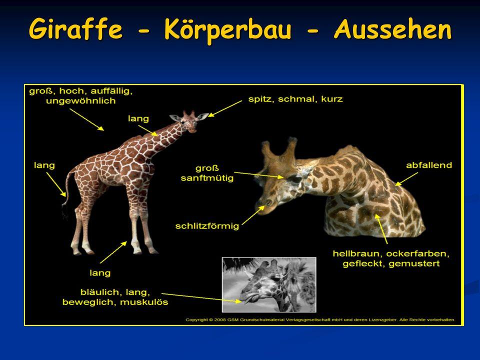 Ernährung Giraffen fressen hauptsächlich Blätter, Knospen und Früchte Giraffen fressen hauptsächlich Blätter, Knospen und Früchte Manchmal fressen sie auch Gras, Kräuter und Getreide.