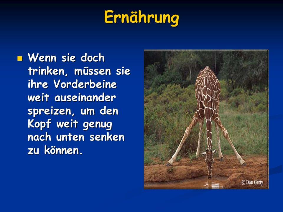Die Zunge der Giraffe Sie ist von blauer Farbe, extrem beweglich und kann einen halben Meter lang sein.