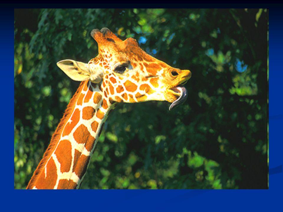 Fortpflanzung Giraffen erreichen ihre Geschlechtsreife im Alter von drei bis vier Jahren.