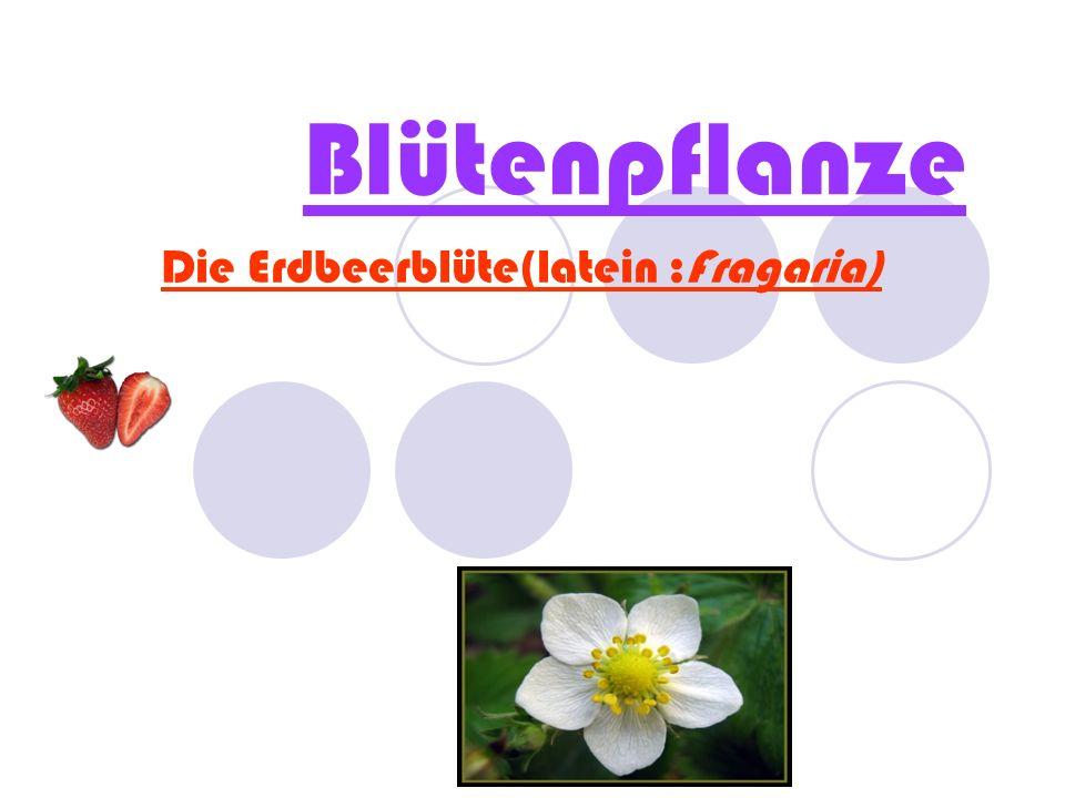 Blütenpflanze Die Erdbeerblüte(latein :Fragaria)