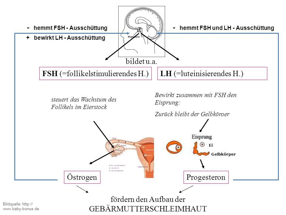 FSH (=follikelstimulierendes H.) steuert das Wachstum des Follikels im Eierstock bildet u.a. LH (=luteinisierendes H.) Bewirkt zusammen mit FSH den Ei