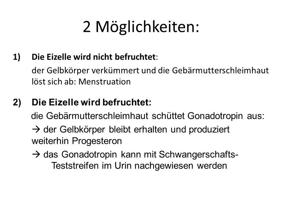 2 Möglichkeiten: 1)Die Eizelle wird nicht befruchtet: der Gelbkörper verkümmert und die Gebärmutterschleimhaut löst sich ab: Menstruation 2) Die Eizel