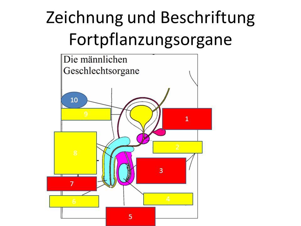 Zeichnung und Beschriftung Fortpflanzungsorgane 10 9 1 2 3 4 5 6 7 8