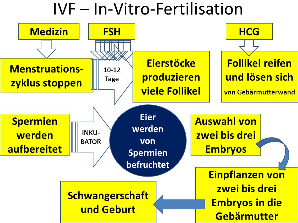 IVF – In-Vitro-Fertilisation Menstruations- zyklus stoppen Medizin 10-12 Tage FSH Eierstöcke produzieren viele Follikel Follikel reifen und lösen sich