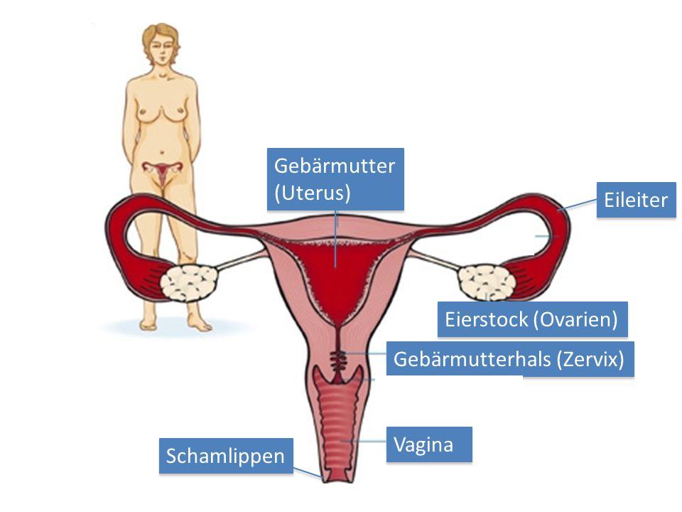 Vagina Eierstock (Ovarien) Gebärmutterhals (Zervix) Gebärmutter (Uterus) Schamlippen Eileiter