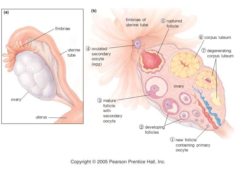 (a) (b) fimbriae uterine tube ovary uterus fimbriae of uterine tube 5 ruptured follicle 6 corpus luteum ovary 7 degenerating corpus luteum 4 ovulated