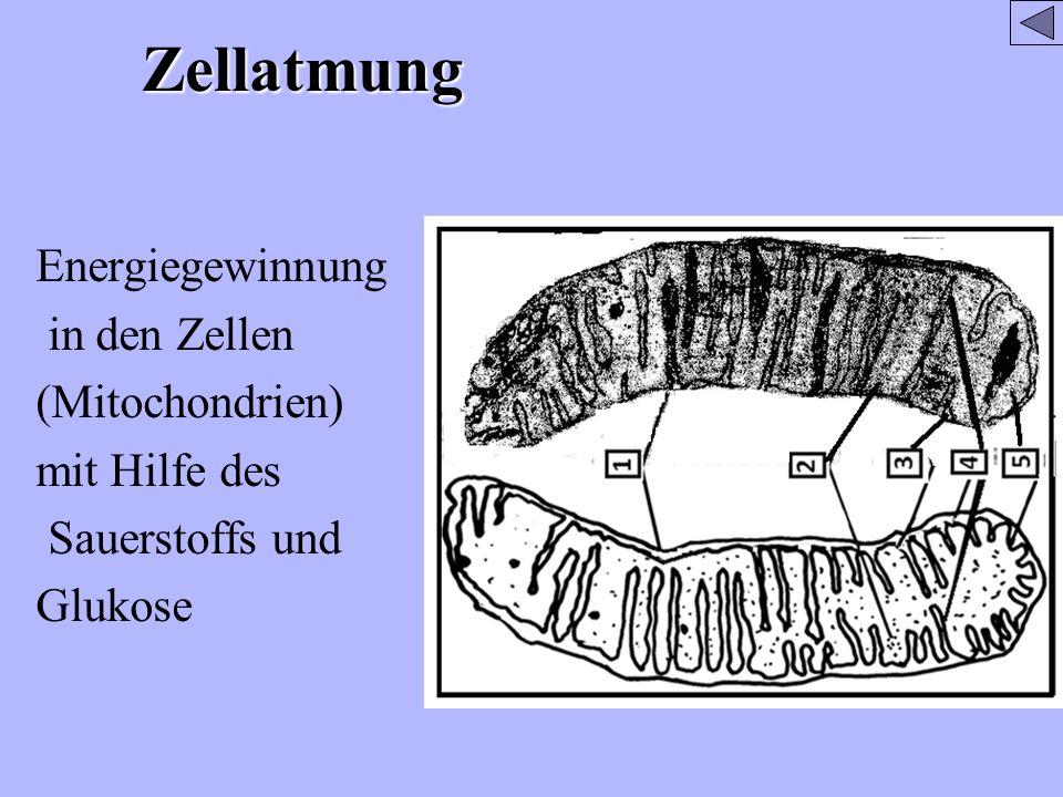 Zellatmung Energiegewinnung in den Zellen (Mitochondrien) mit Hilfe des Sauerstoffs und Glukose