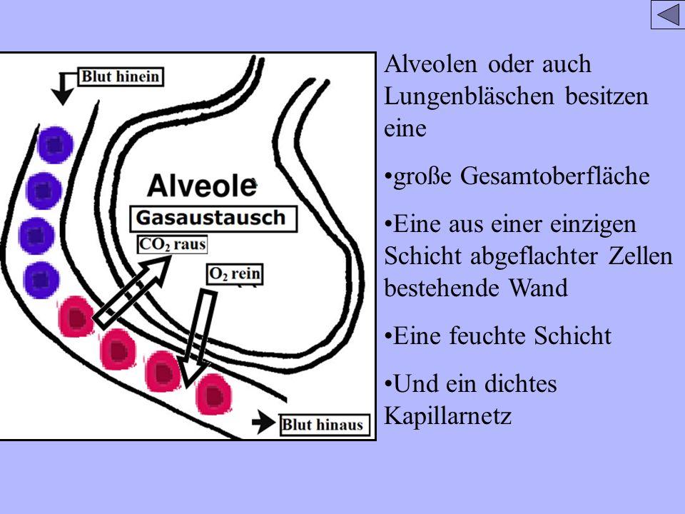 Alveolen oder auch Lungenbläschen besitzen eine große Gesamtoberfläche Eine aus einer einzigen Schicht abgeflachter Zellen bestehende Wand Eine feucht