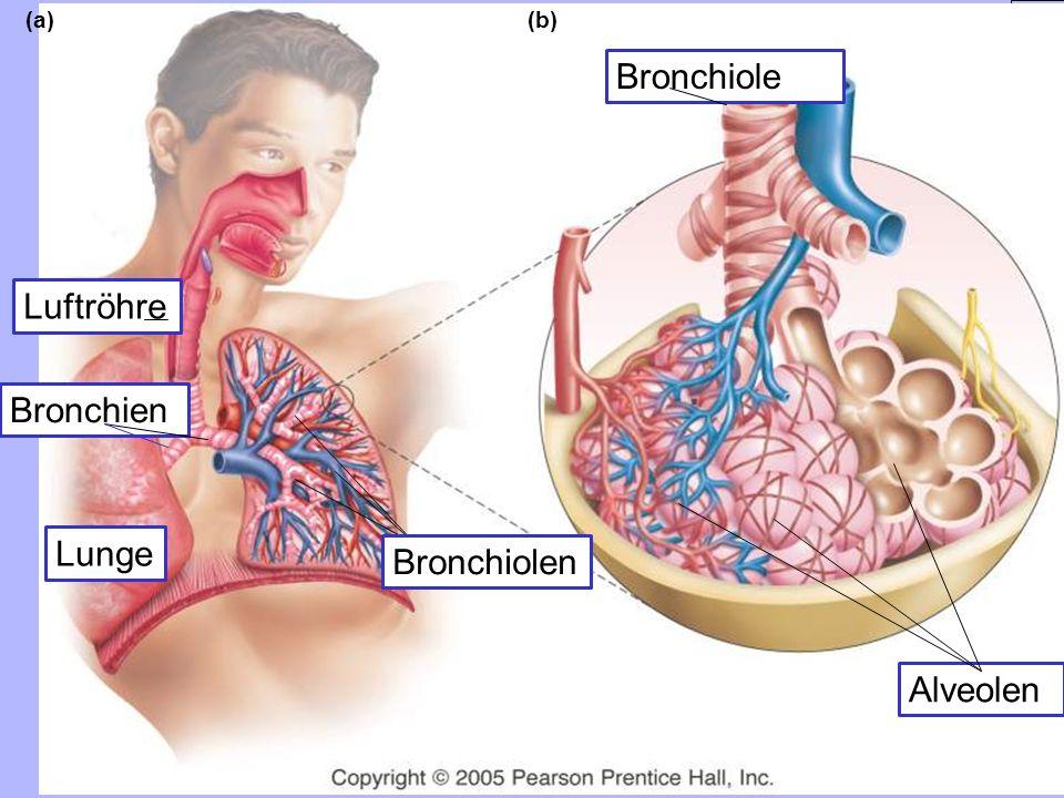 Luftröhre Bronchien (a) Bronchiolen Bronchiole (b) Alveolen Lunge