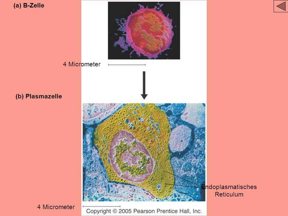 B-zelle Makrophage Antigen Aktivieren Antigen T-Helfer- Zelle Aktivieren Klone Gedächtnis- Zelle Plasma- Zelle Antikörper