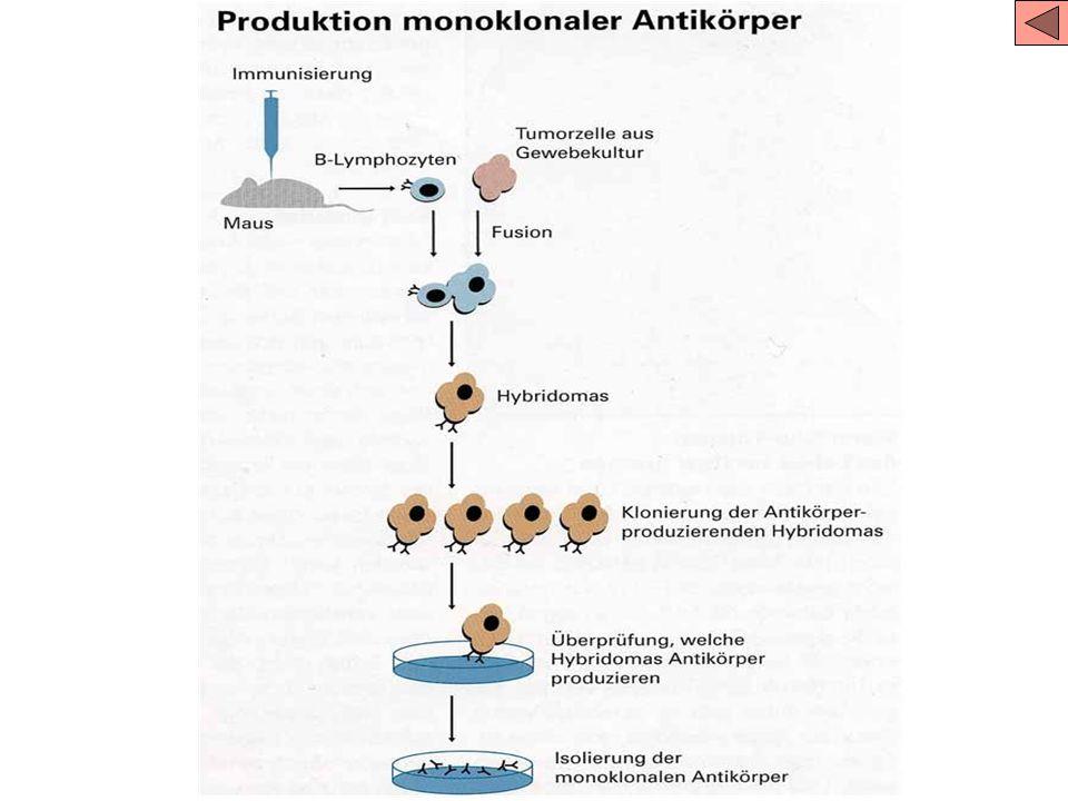 Monoklonale – Polyklonale Antikörper Pathogene haben viele verschiendene Antigene Viele verschiedene Antikörper werden produziert (polyklonal) Schwier
