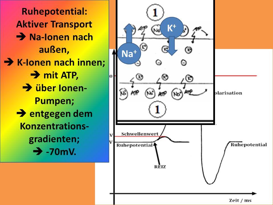 Ruhepotential: Aktiver Transport Na-Ionen nach außen, K-Ionen nach innen; mit ATP, über Ionen- Pumpen; entgegen dem Konzentrations- gradienten; -70mV.