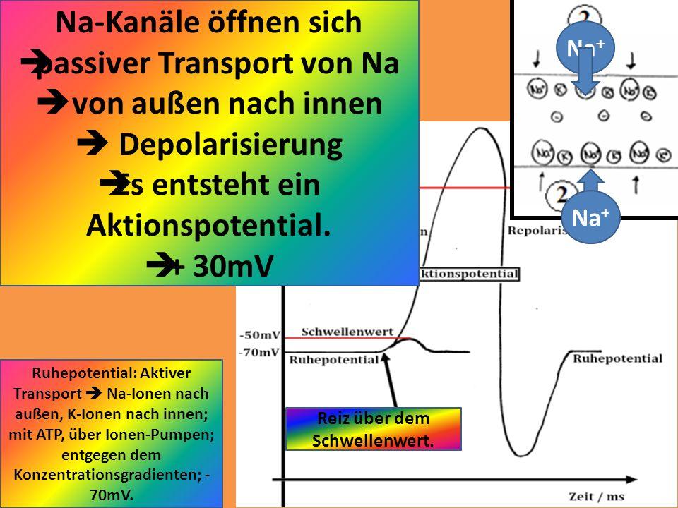 Reiz über dem Schwellenwert. Na-Kanäle öffnen sich passiver Transport von Na von außen nach innen Depolarisierung Es entsteht ein Aktionspotential. +