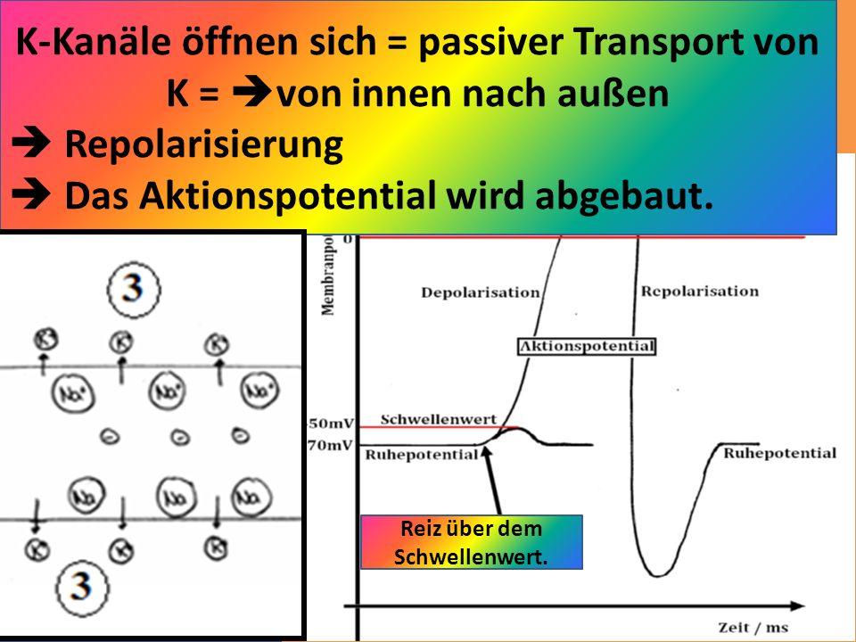 Reiz über dem Schwellenwert. Ruhepotential: Aktiver Transport Na-Ionen nach außen, K-Ionen nach innen; mit ATP, über Ionen-Pumpen; entgegen dem Konzen
