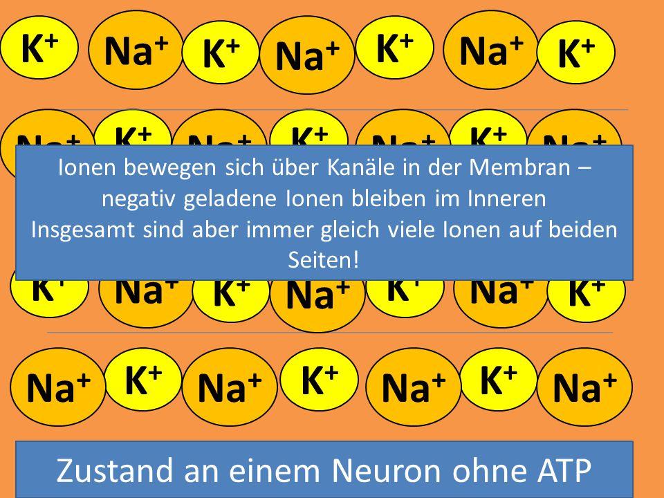 Na + K+K+ K+K+ - - - K+K+ K+K+ K+K+ K+K+ K+K+ K+K+ K+K+ K+K+ K+K+ K+K+ K+K+ K+K+ Zustand an einem Neuron ohne ATP Ionen bewegen sich über Kanäle in de
