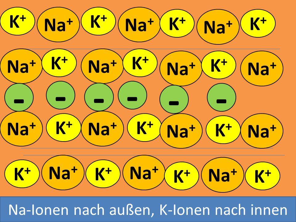 K+K+ Na + K+K+ Ruhepotential aktiver Transport K+K+ Na + K+K+ K+K+ K+K+ K+K+ K+K+ K+K+ K+K+ K+K+ K+K+ K+K+ K+K+ - - - - -- Na-Ionen nach außen, K-Ione