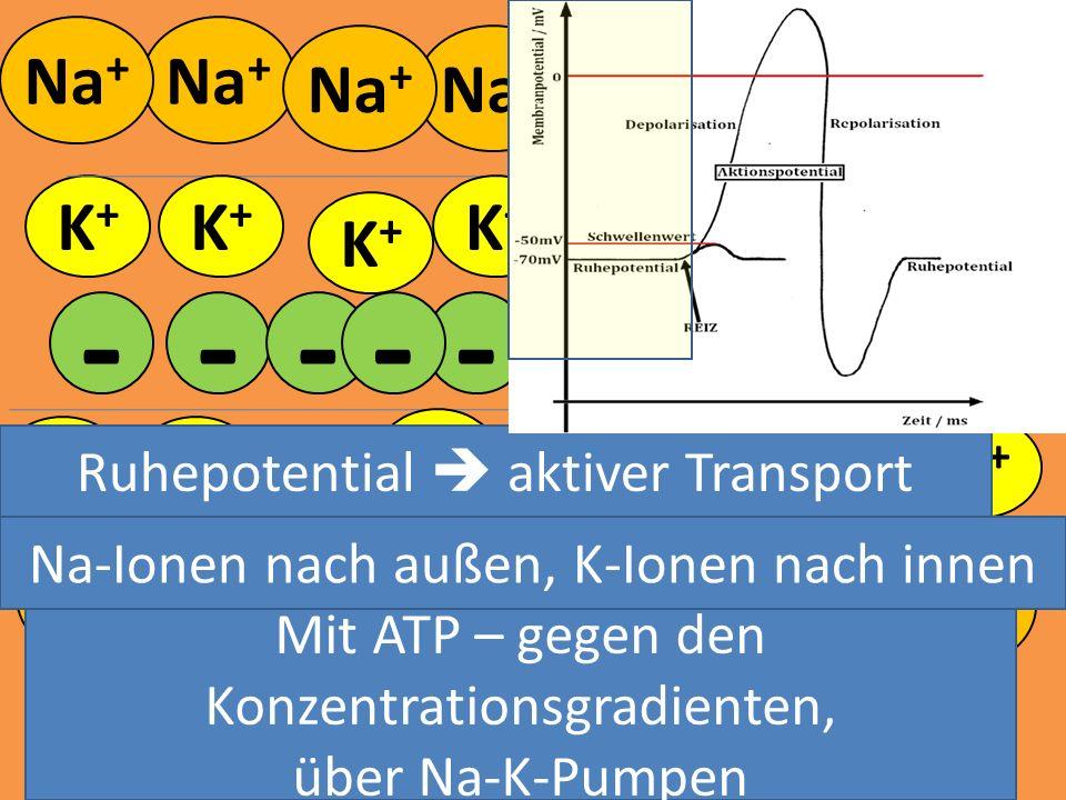 Na + K+K+ K+K+ K+K+ K+K+ K+K+ K+K+ - - - K+K+ K+K+ K+K+ K+K+ K+K+ K+K+ K+K+ K+K+ K+K+ K+K+ K+K+ K+K+ - - --- -- Mit ATP – gegen den Konzentrationsgrad