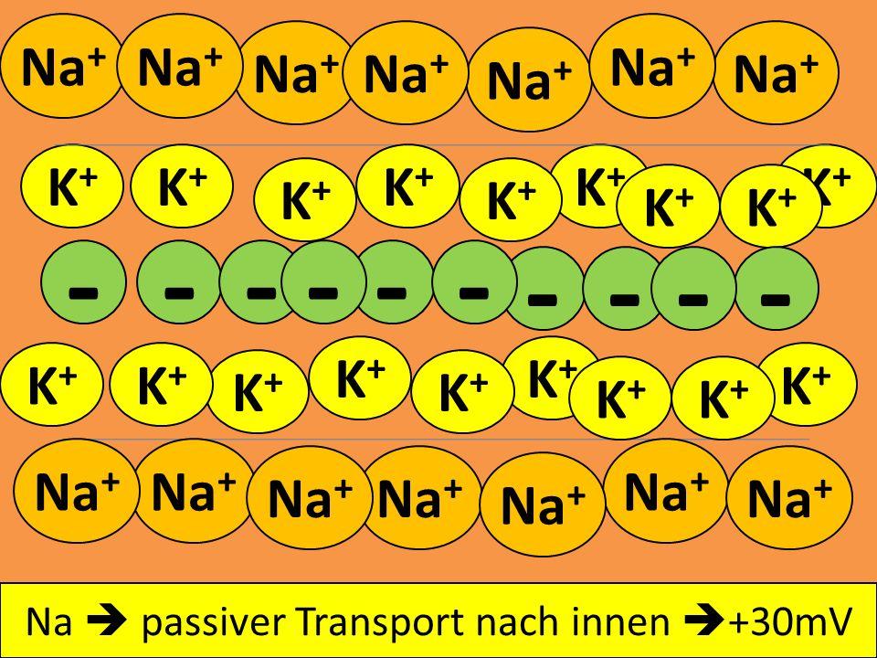 Aktionspotential beginnt mit Depolarisation Na + K+K+ K+K+ K+K+ K+K+ K+K+ K+K+ - - - K+K+ K+K+ K+K+ K+K+ K+K+ K+K+ K+K+ K+K+ K+K+ K+K+ K+K+ K+K+ - - -