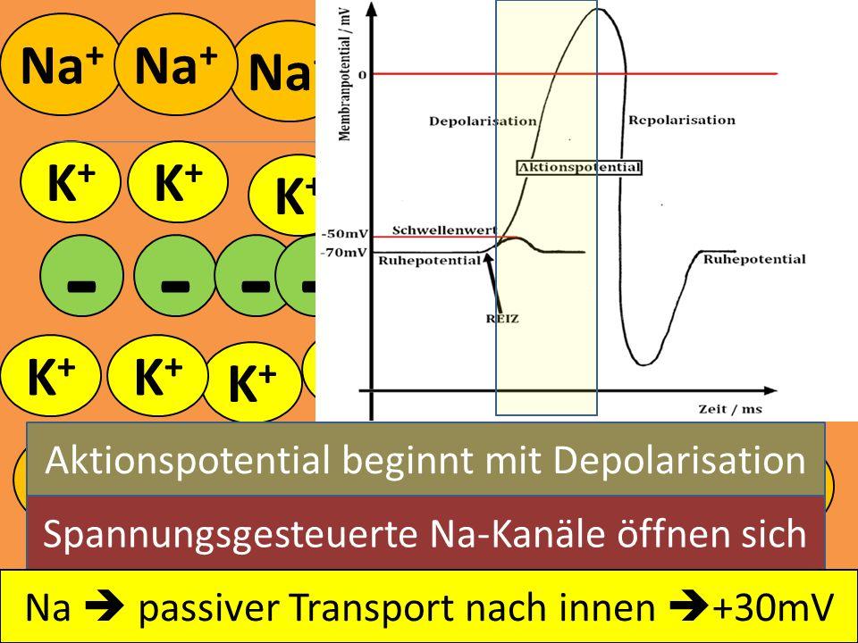Na + K+K+ K+K+ K+K+ K+K+ K+K+ K+K+ - - - K+K+ K+K+ K+K+ K+K+ K+K+ K+K+ K+K+ K+K+ K+K+ K+K+ K+K+ K+K+ - - --- -- Spannungsgesteuerte Na-Kanäle öffnen s