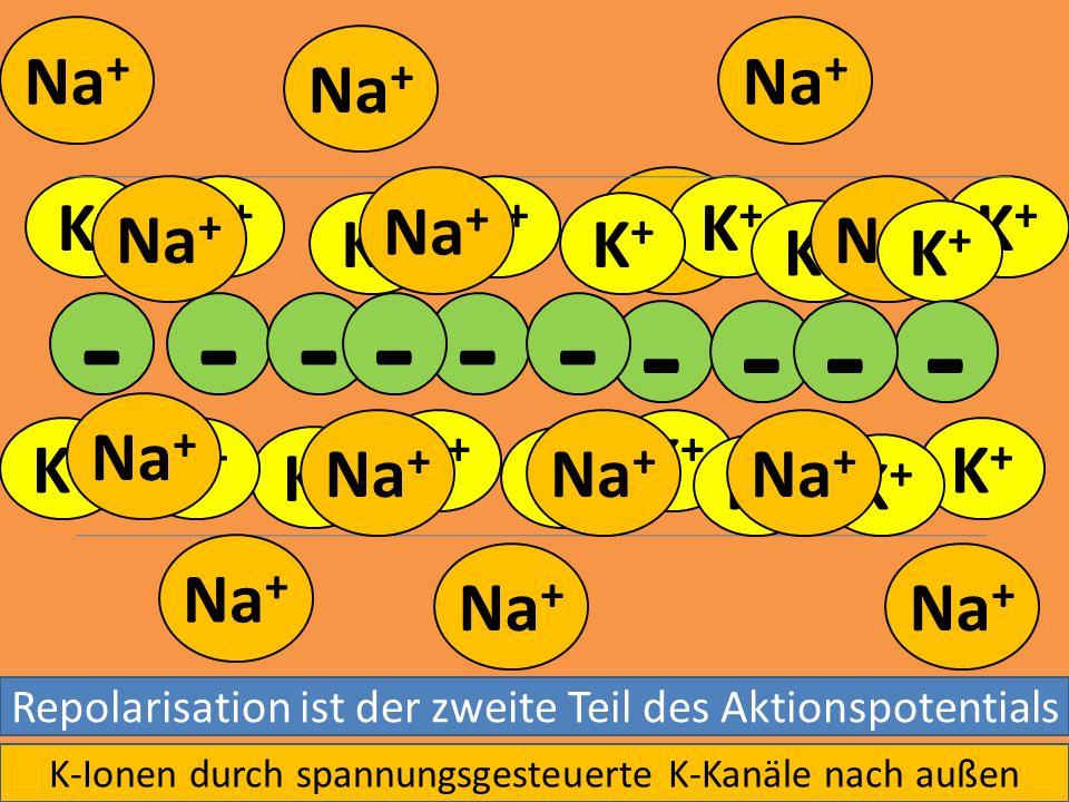 Na + K+K+ K+K+ K+K+ K+K+ K+K+ K+K+ - - - K+K+ K+K+ K+K+ K+K+ K+K+ K+K+ K+K+ K+K+ K+K+ K+K+ K+K+ K+K+ - - --- -- Repolarisation ist der zweite Teil des