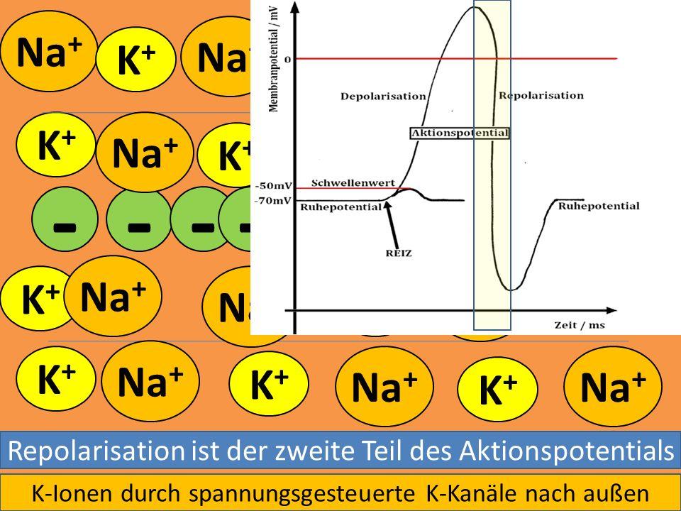 Na + K+K+ K+K+ K+K+ K+K+ K+K+ - - - K+K+ K+K+ K+K+ K+K+ K+K+ K+K+ K+K+ K+K+ - - --- -- Repolarisation ist der zweite Teil des Aktionspotentials K-Ione