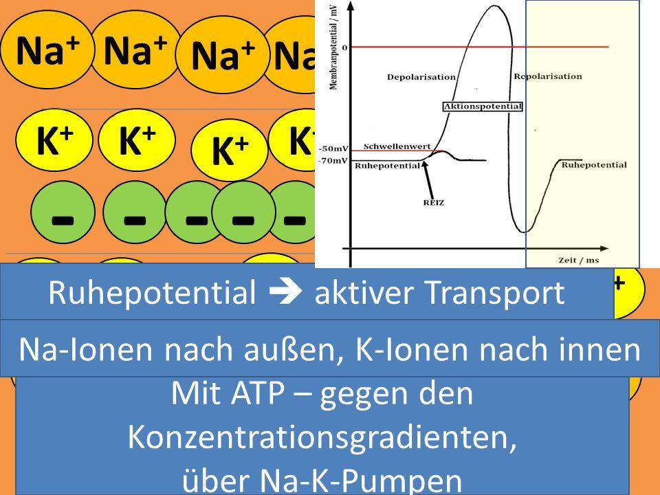 K+K+ K+K+ K+K+ K+K+ K+K+ K+K+ - - - K+K+ K+K+ K+K+ K+K+ K+K+ K+K+ K+K+ K+K+ K+K+ K+K+ K+K+ K+K+ - - --- -- Mit ATP – gegen den Konzentrationsgradiente