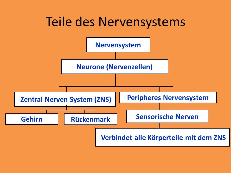 Nervensystem Neurone (Nervenzellen) Gehirn Zentral Nerven System (ZNS) Peripheres Nervensystem Rückenmark Sensorische Nerven Verbindet alle Körperteil