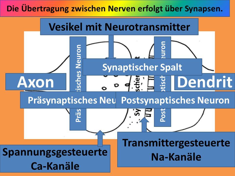 Präsynaptisches Neuron Postsynaptisches Neuron AxonDendrit Synaptischer Spalt Vesikel mit Neurotransmitter Spannungsgesteuerte Ca-Kanäle Transmitterge
