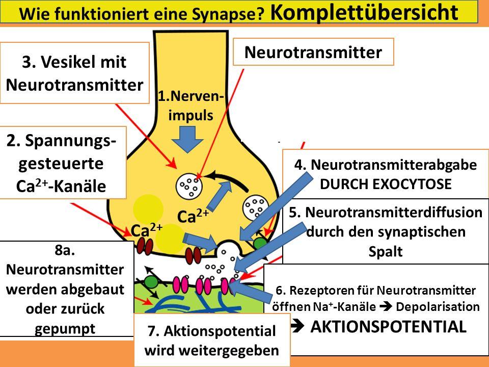 Wie funktioniert eine Synapse? Komplettübersicht 3. Vesikel mit Neurotransmitter Neurotransmitter 4. Neurotransmitterabgabe DURCH EXOCYTOSE 2. Spannun