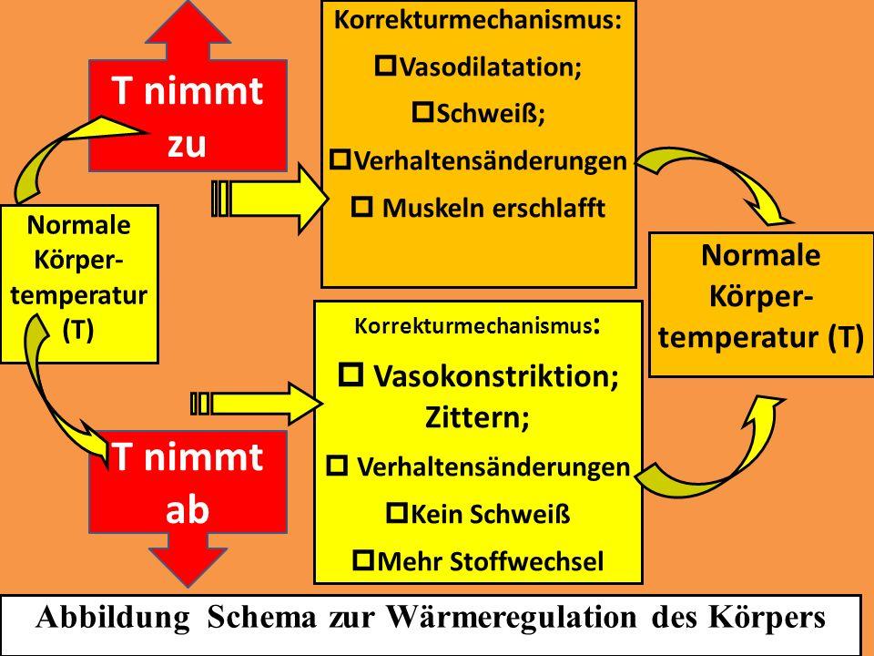 Normale Körper- temperatur (T) Korrekturmechanismus: Vasodilatation; Schweiß; Verhaltensänderungen Muskeln erschlafft Korrekturmechanismus : Vasokonst