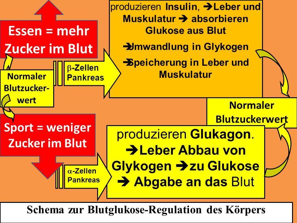 Normaler Blutzuckerwert produzieren Insulin, Leber und Muskulatur absorbieren Glukose aus Blut Umwandlung in Glykogen Speicherung in Leber und Muskula