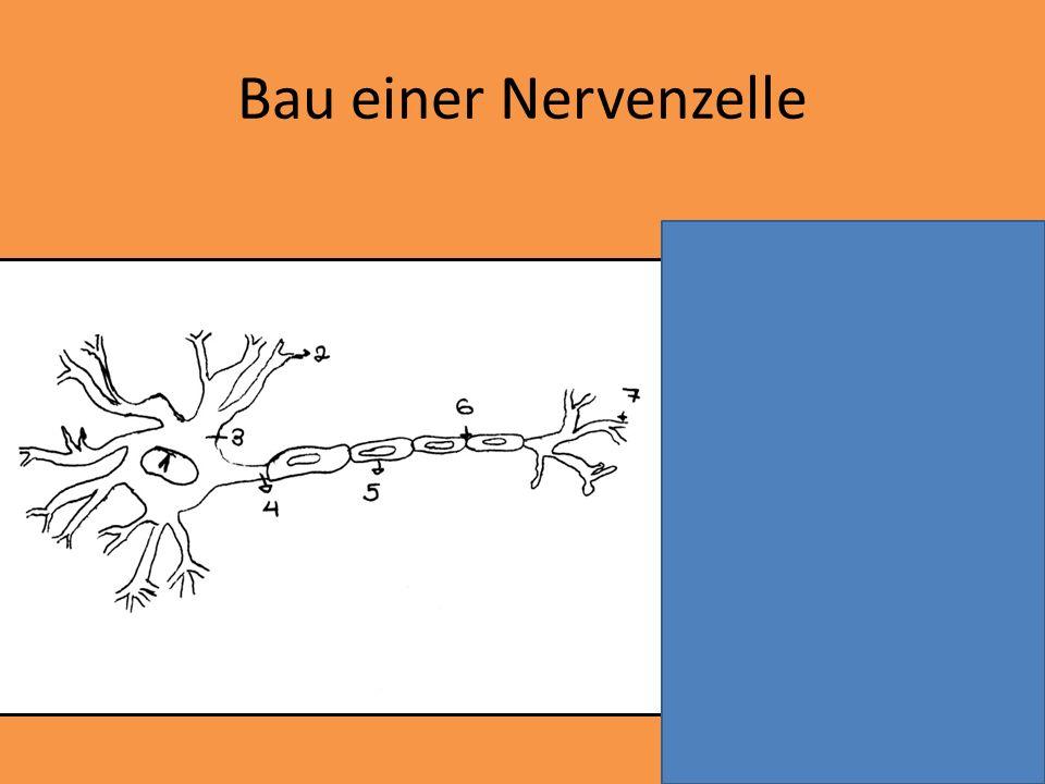 Bau einer Nervenzelle