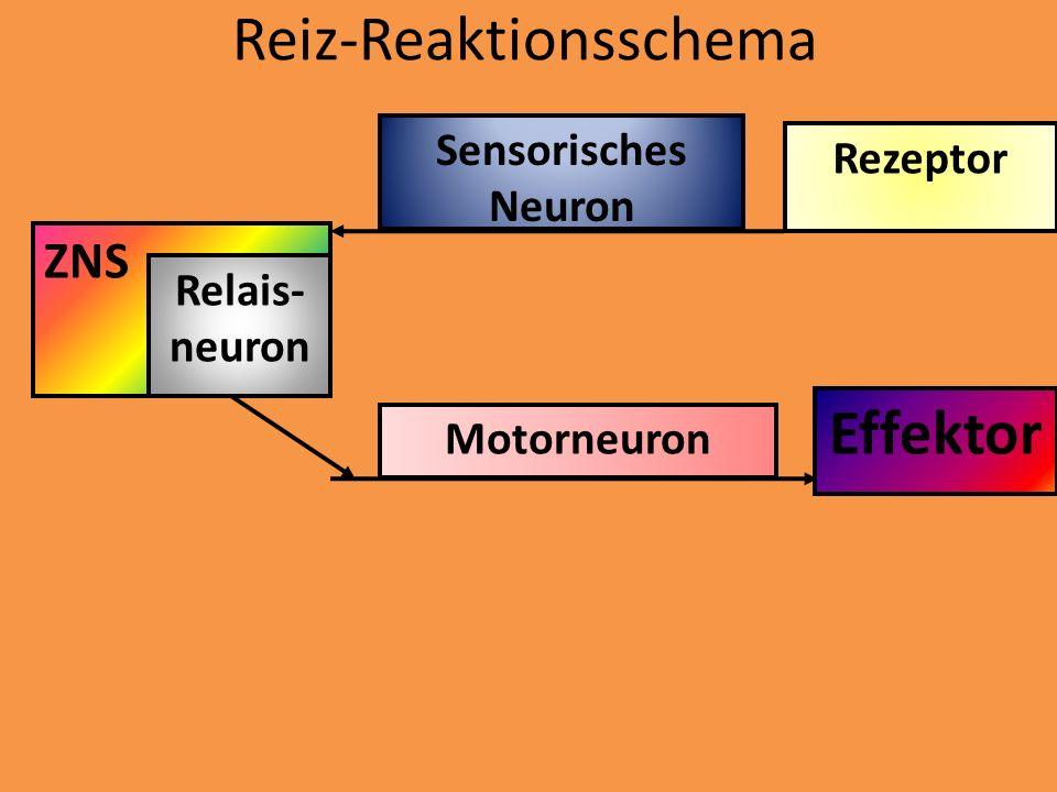 Reiz-Reaktionsschema Rezeptor Sensorisches Neuron ZNS Relais- neuron Motorneuron Effektor