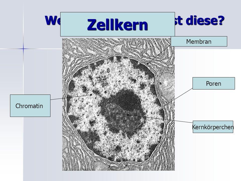 Welche Zellstruktur ist diese? Membran Kernkörperchen Chromatin Zellkern Poren
