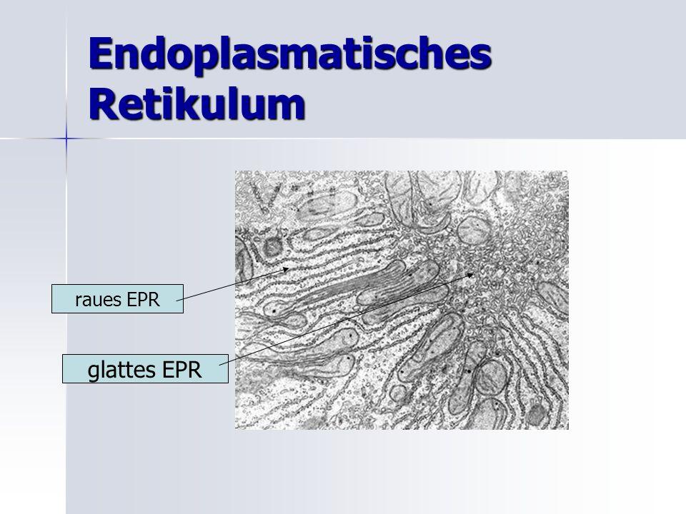Endoplasmatisches Retikulum raues EPR glattes EPR