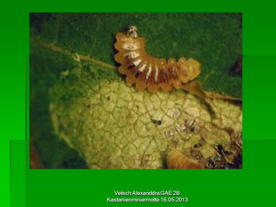 Befallene Wirtspflanzen Gewöhnliche Rosskastanie Gewöhnliche Rosskastanie Verschiedene Arten der Rosskastanie Verschiedene Arten der Rosskastanie Selten auch der Bergahorn Selten auch der Bergahorn