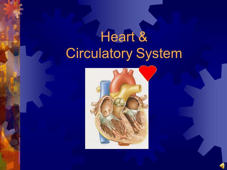 Heart & Circulatory System