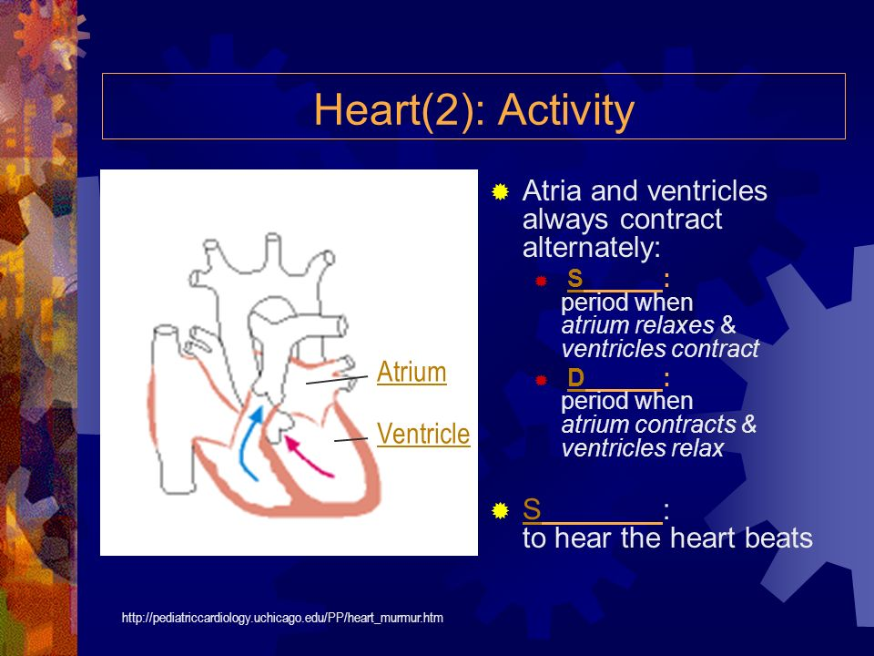 Heart(2): Activity Atria and ventricles always contract alternately: S: period when atrium relaxes & ventricles contractS D: period when atrium contracts & ventricles relaxD S: to hear the heart beats S http://pediatriccardiology.uchicago.edu/PP/heart_murmur.htm Atrium Ventricle