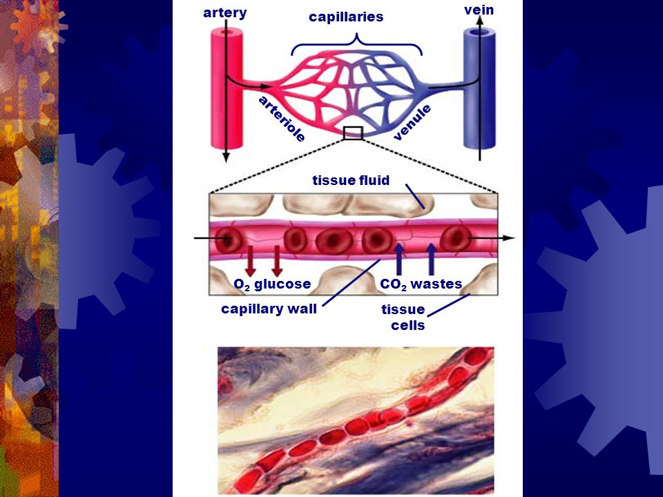 Types of blood vessels (1)vessel Arteries (sg. artery):artery Take blood away from the heart, their walls are muscular and elastic (blood pulses throu