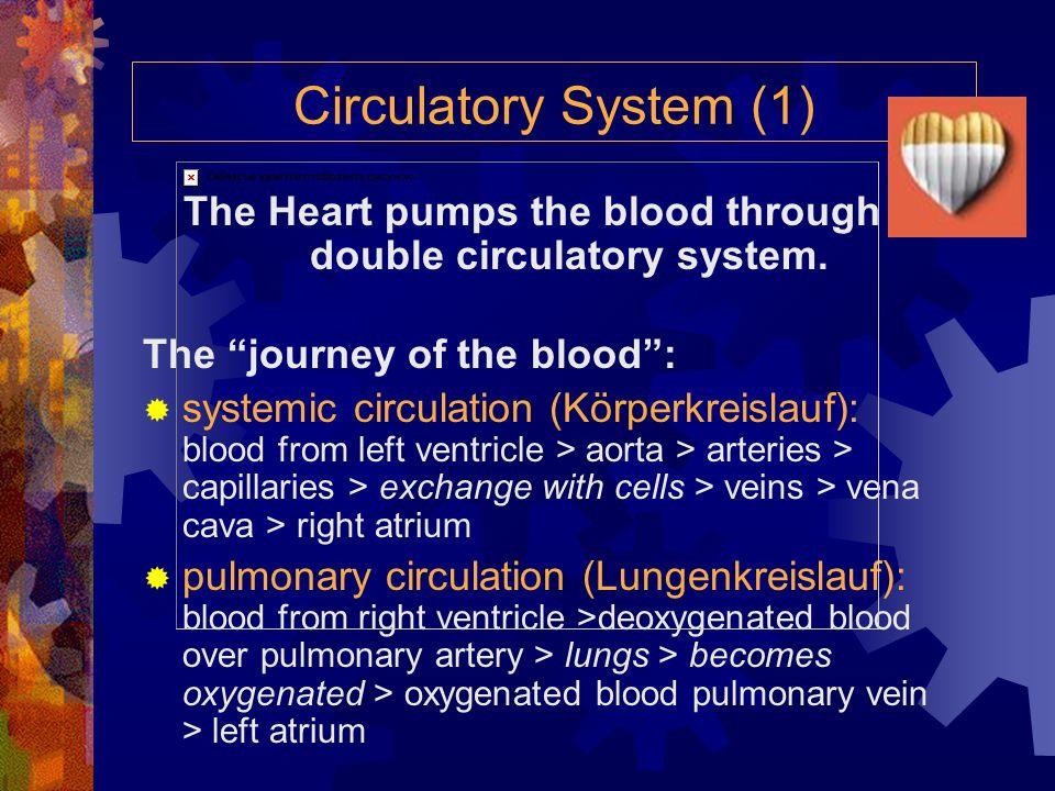 Der Blutkreislauf (2) 1 Kopfvene 2 Lungenkapillaren 3 Lungenarterie 4 rechte Herzvorkammer 5 Hohlvene 6 rechte Herzkammer 7 Beinvene 8 Kopfkapillaren
