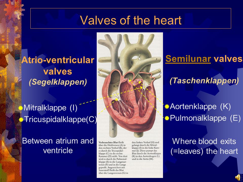 Valves of the heart Atrio-ventricular valves (Segelklappen) Mitralklappe (I) Tricuspidalklappe(C) Between atrium and ventricle SemilunarSemilunar valves (Taschenklappen) Aortenklappe (K) Pulmonalklappe (E) Where blood exits (=leaves) the heart