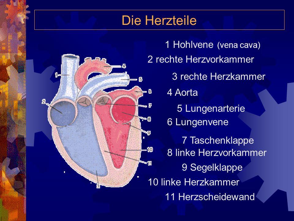 11 Herzscheidewand Die Herzteile 1 Hohlvene (vena cava) 2 rechte Herzvorkammer 3 rechte Herzkammer 4 Aorta 5 Lungenarterie 6 Lungenvene 7 Taschenklappe 8 linke Herzvorkammer 9 Segelklappe 10 linke Herzkammer